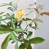 노랑찔레 분재용수제분(꽃과 수형이 예쁜)완성분|Handmade Flower pot