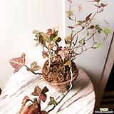 송악 묵은주(묵은목대와 가지가 많아 멋스러움)수제분 완성분/분갈이포함|Handmade Flower pot