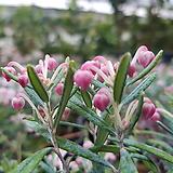 각시성남(비닐포트)-핑크톤의 작은꽃이 방울처럼 피어나는~|