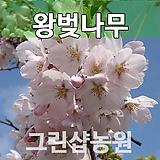 왕벚묘목 왕벚나무 접목 1년 10주|