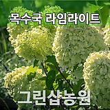 목수국라임라이트묘목 목수국라임라이트나무 개화주|Hydrangea macrophylla