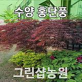 수양홍단풍묘목 수양홍단풍나무 접목 1년 10주|