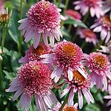 겹꽃 에키네시아 버터플라이 키세스|