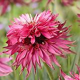 겹꽃 에키네시아 레드바론|