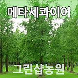 메타세콰이아묘목 메타세콰이아나무 1년생|
