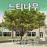 느티묘목 느티나무 3년생 10주|Echeveria Tina