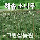 해송묘목 해송나무 1-1묘|