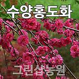 수양홍도화묘목 수양홍도화나무 개화주 R3~4|