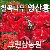 영산홍묘목 영산홍나무 H0.3 5주|