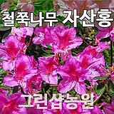 자산홍묘목 자산홍나무 H0.3 5주|