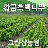 황금측백묘목 황금측백나무 H0.6 10주|