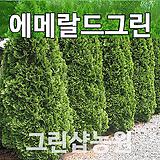 에메랄드그린묘목 에메랄드그린나무 H0.8~1.0|