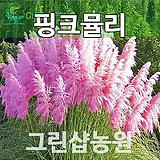 粉色뮬리묘목粉色뮬리나무7치포트