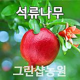 석류묘목 석류나무 삽목 2년|
