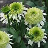 겹꽃 에키네시아 허니듀|