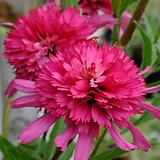 겹꽃 에키네시아 써든벨|