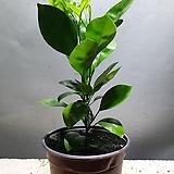 깔라만시 과실수 소품 공기정화식물 65 