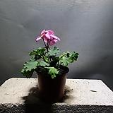 제라늄페라고늄 소품 공기정화식물 29 