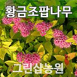 황금조팝묘목 황금조팝나무 개화주|