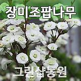 장미조팝묘목 장미조팝나무 개화주|