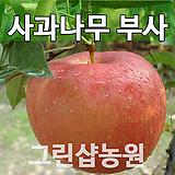 사과부사묘목 사과부사나무 접목 1년|Sedum torereasei