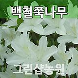 백철쭉묘목 백철쭉나무 H0.3 5주|