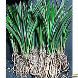 산천조(3-4촉)/난/동양란/공기정화식물/꽃/식물/분재/정화/수반/옹기/화분/나라아트|