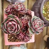 롱기시마자연군생|Echeveria longissima