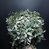 디시디아화이트 대품 수입식물 공중식물 499 