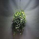 디시디아그린 대품 수입식물 공중식물 499 