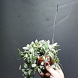 뉴디시디아화이트 디시디아 수입식물 공중식물 45