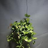 뉴디시디아그린 디시디아 수입식물 공중식물 45
