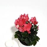 레이스가 예쁜 베고니아 장미베고니아|Begonia