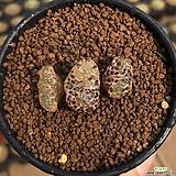 C.pellucidum concordia 콘코르디아産 3두