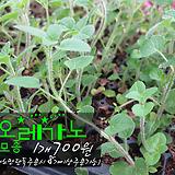 오레가노(oregano) 허브모종 700원(단일품목 구매시 5천원 이상 배송가능)|Hub