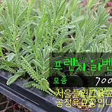 프리지드라벤다 허브모종 700원( 5000원이상 배송가능)