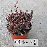 소말리아 달개비 (Tradescantia somaliensis) 지름 9cm 소품 다육화분 (단일품목 구매시 5천원 이상 배송가능)|