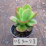 홍매화(Echeveria multicaulis Ginmei-Tennyo ) 지름 9cm 소품 다육화분 (단일품목 구매시 5천원 이상 배송가능)|Echeveria Multicalulis  Ginmei Tennyo