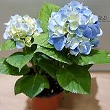 水菊2송이蓝