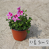 엔젤아이즈 핑크 (AngeleyesPink) 지름 10cm 소품화분 제라늄(단일품목 구매시 5천원 이상 배송가능)|Geranium/Pelargonium