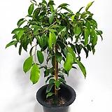 [배송비무료]골드킹벤자민 벤자민 공기정화식물|