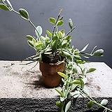 디시디아 그린 화이트 수입식물 공기정화식물 45|