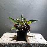 목베고니아 베고니아 수입식물 반려식물 42 Begonia