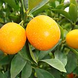 낑깡금귤나무-비타민풍부한식용꿀열매|