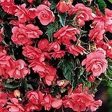능수베고니아 핑크 특구근1개|Begonia