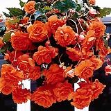 능수베고니아 살몬 특구근1개|Begonia
