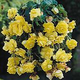 능수베고니아 옐로우 특구근1개|Begonia