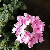 사랑스런 핑크칼라 버베나|