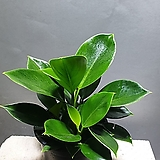 미니콩고 중품 콩고 공기정화식물 55 