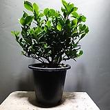 치자나무 치자 공기정화식물 99